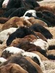 Moutons prêts à la vente sur le marche dominical aux bestiaux de Kashgar