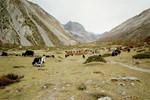 Un champs de yaks