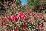 Des roses du désert au jardin botanique de Darwin