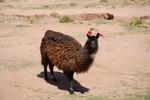 Au lieu de cloches, on met ici des pompons aux lamas. Uhhhhhh...... wat zie ik daar?