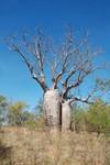 Les baobabs font leur apparition dans les forêts
